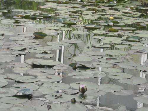 Il laghetto naturale con papiri e ninfee / barbara